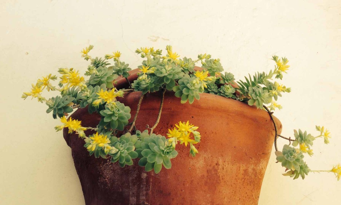 maceta, plantas, flor amarilla, pared amarilla, casa, decoración, brenda ríos orozco, berivers