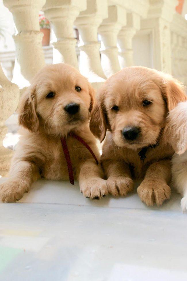 Cachorros golden retriever, un mes aproximado de edad