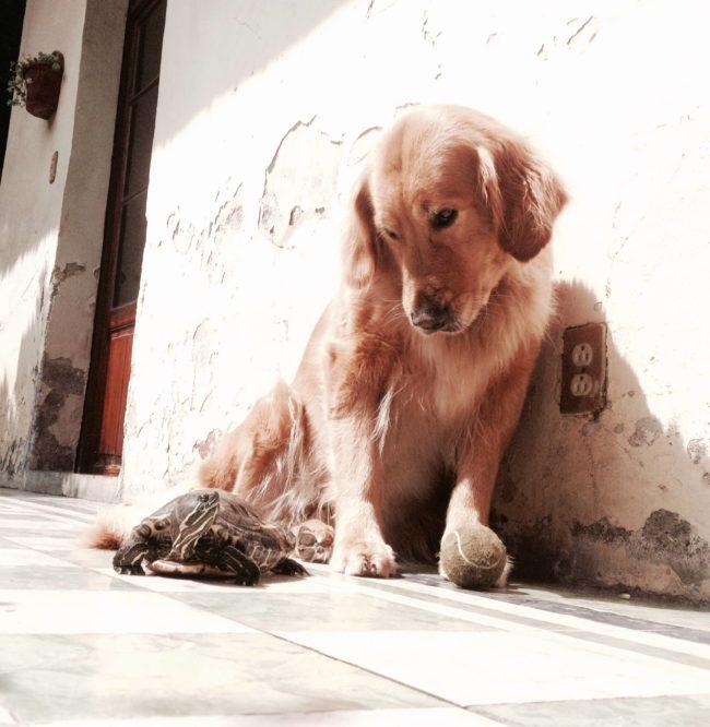 Perro golden retriever dorado, en amistad con una tortuga