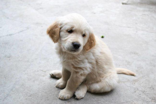 Cachorro golden retriever blanco,