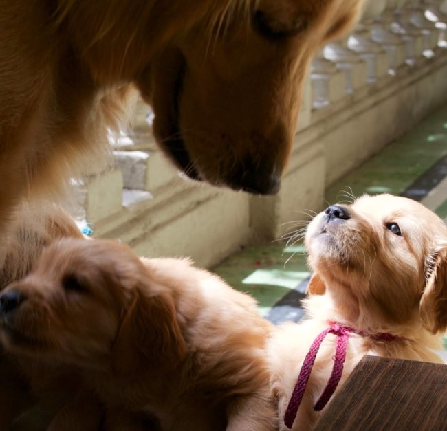 Mamá golden retriever y su cachorra bebé